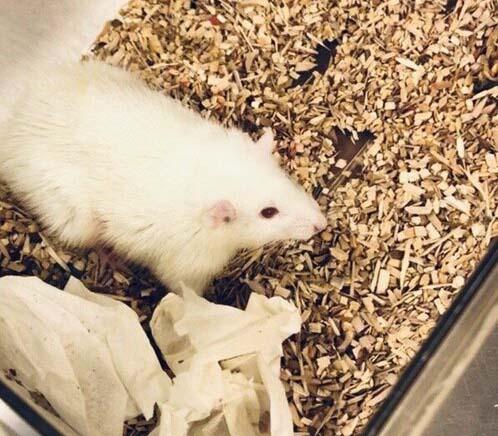 پیوند کبد انسان به موشها